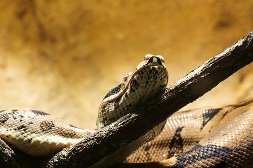 snake boa boa constrictor imperator