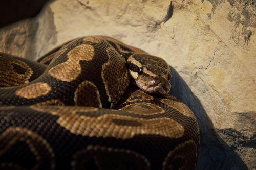 gyvatė,tapetai,fonas,python regius,vivarium,veisimas
