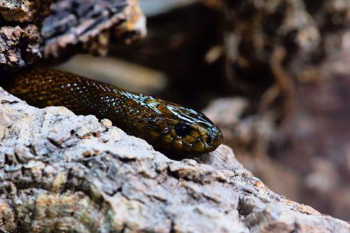 snake inland taipan threatening