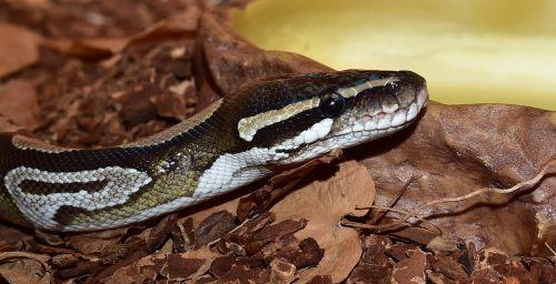 snake python python regius