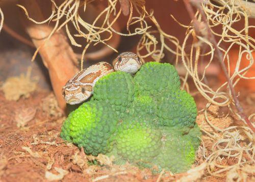 snake heterodon nasicus slightly toxic