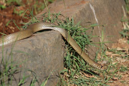 snake retile serpent
