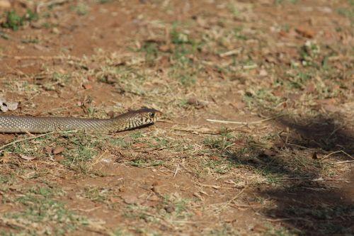 snake reptile animal