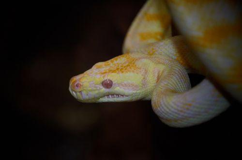 snake australian wildlife reptile