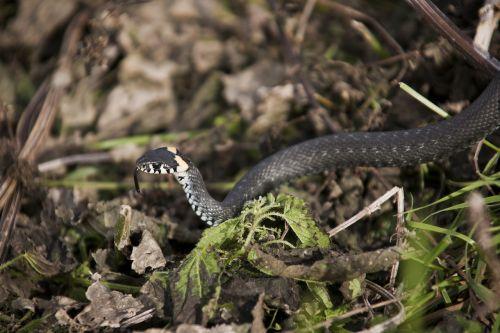 gyvatė,tikrai,slinkimas,svarstyklės,pavojus