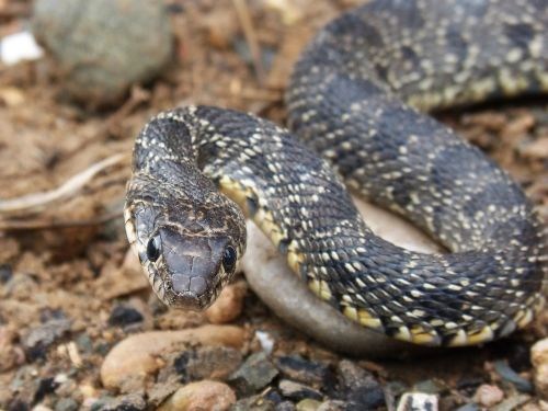 snake threat legua bifida