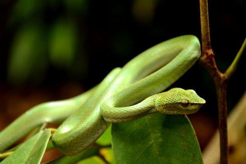snake viper coiled