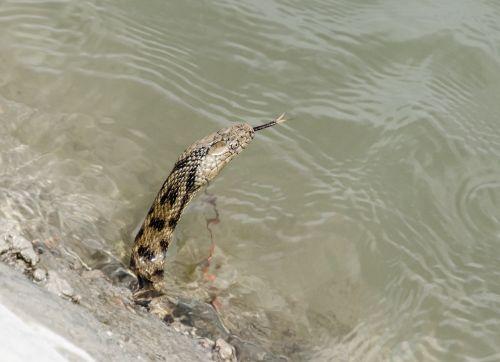 snake water animal