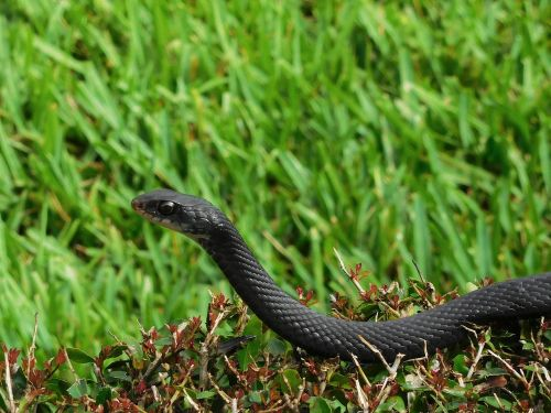 snake reptile creature