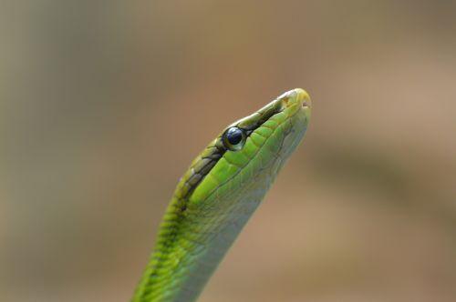 snake schlange serpent