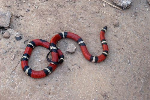 snake false coral reptile