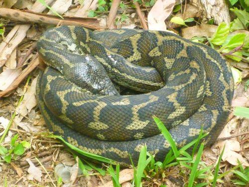 snake python reptile