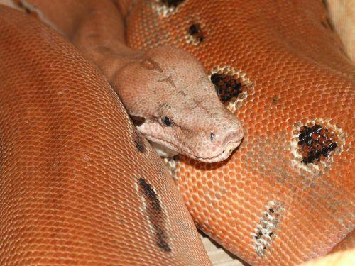 snake head reptile