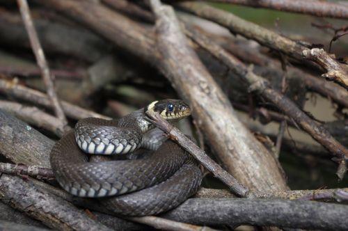 snake natter nature