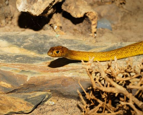snake inland taipan australia