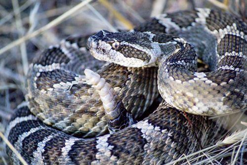 snake rattlesnake rattle