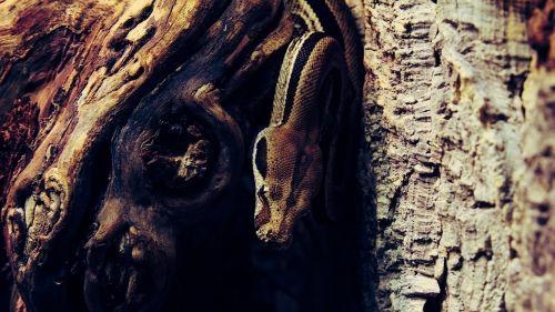 snake aggressive reptile