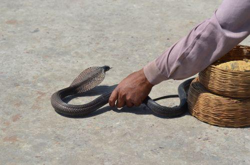 snake toxic animal