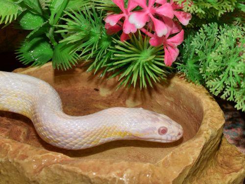 snake snakehead scale