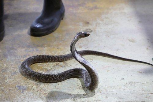 snake  cobra  dangerous