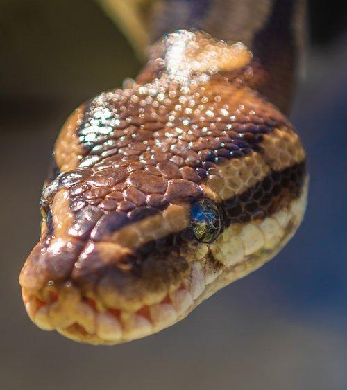 snake  natter  head