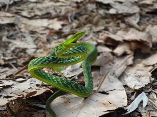 snake  green vine snake  reptiles