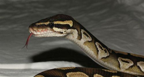 snake phyton mojave