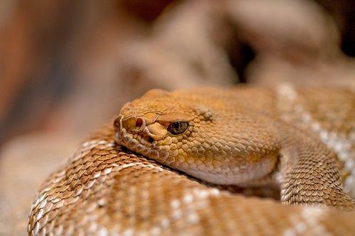 snake  viper  venomous