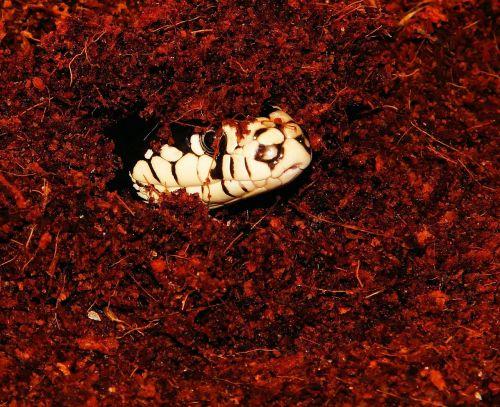 snake snakehead california getula