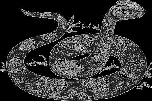 snake head raised