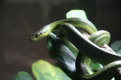 snake venomous snake reptile