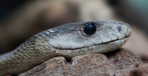 snake toxic dangerous