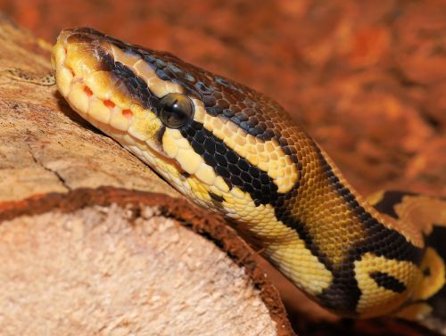 snake,python,ball python,cute,constrictor,beauty,reptile,scale,close,python regius,creature