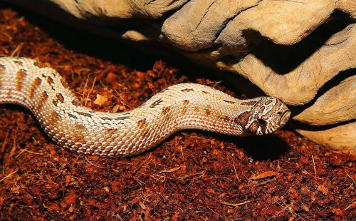 snake heterodon nasicus north america