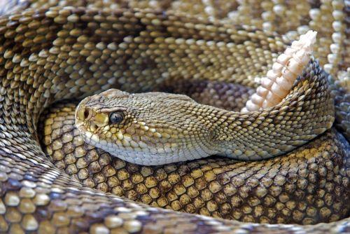 snake rattlesnake reptile