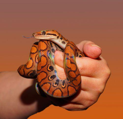 snake rainbow boa reptile