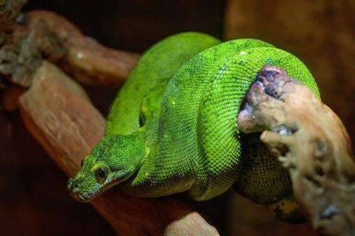 snake green boomslang