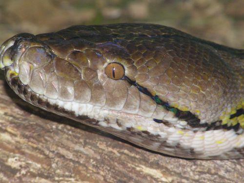 snake colours head