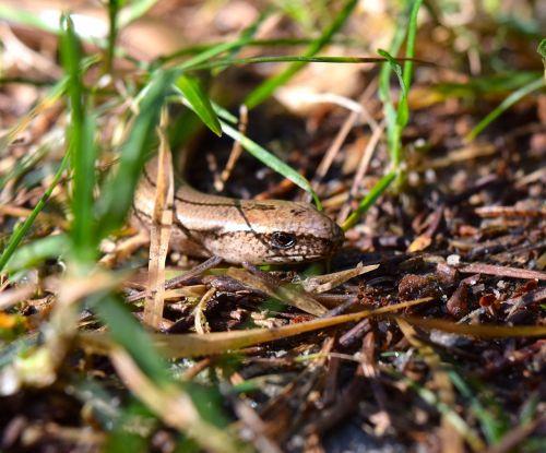 lizard creep slow worm