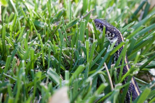 snake in the grass garden snake green