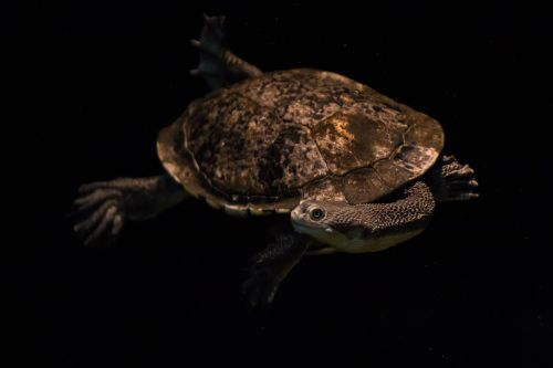 snake-neck turtle turtle water turtle