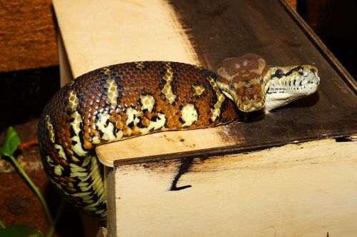 snakes terrarium carpet pythons