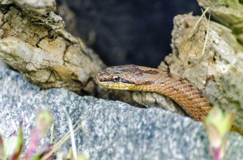 snakes reptile snake