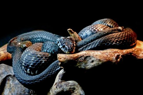 snakes black snakes animal