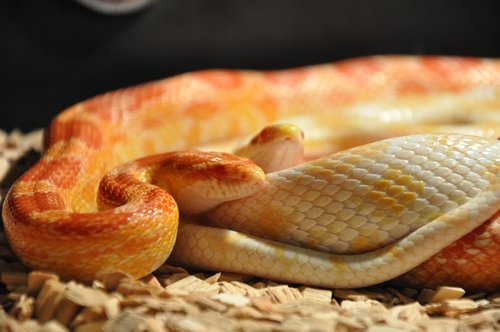 snakes  corn snakes  reptile