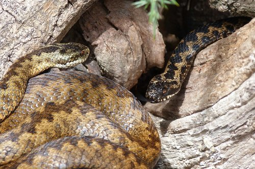 snakes  adders  reptiles