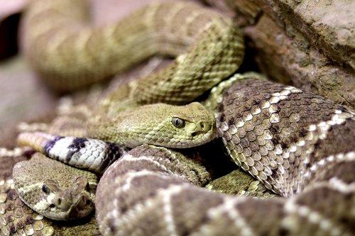 snakes  diamond back rattle snake  rattle snake