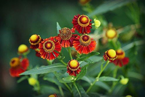sneeze weed  helenium hybrid  flower