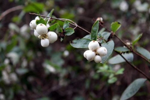 śnieguliczka balta,białojagodowa,balti kamuoliukai,krūmas,gamta,augmenija,vaisingas krūmas,ruduo