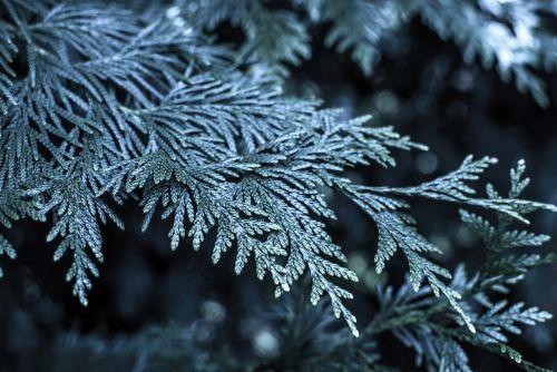 śnige christmas tree frost